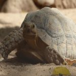 Tortue in Baly Bay